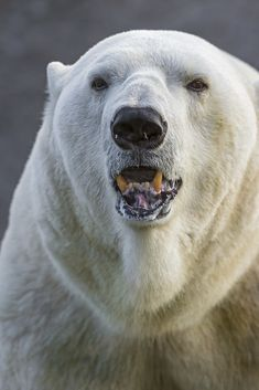 Animals Of The World, Animals And Pets, Cute Animals, Polar Bear Tattoo, Teddy Bear Cartoon, Bear Art, Tier Fotos, Animal Totems, Wild Nature