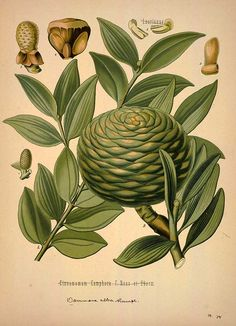 88 free vintage medicinal plant illlustrations - PLANT CURATOR These will look great in my kitchen! I have vintage bird illustrations in my dining room
