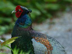 キジ - Google 検索 pheasant