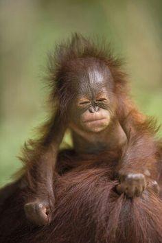 Ha!! What a cute baby orangutan