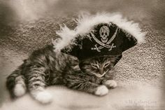 New Mexico, photographer focuses on homeless cats . Long Haired Tabby Kitten with Pirate Hat Vintage Look 5 x 7 Photographic Print