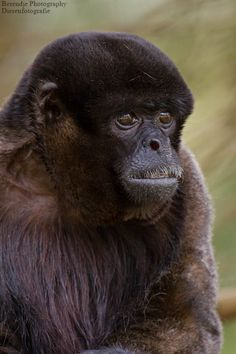 Woolly monkey - Wolaap by Brenda Passchier / Berendje Photography