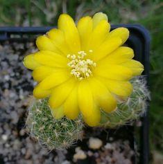 Sulcorebutia cantargalloensis var. torrepampensis RMR 0922/02