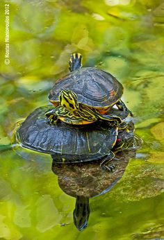 Are you thinking of buying a tortoise to keep? If so there are some important things to consider. Tortoise pet care takes some planning if you want to be. Land Turtles, Baby Sea Turtles, Cute Turtles, Beautiful Creatures, Animals Beautiful, Cute Animals, Baby Animals, Pet Turtle, Turtle Love