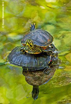 Turtle Tier