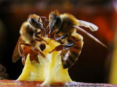Bees in Italy #bees #honey #wax