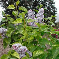Variegated Lilac  Marbled Foliage and Fragrant, Double Flowers.  Fragrant, blue double blooms attract butterflies, birds and bees and are excellent when brought inside as cut flowers. The variegated foliage provides interest all season long. This wonderful lilac prefers well-drained, humus-enriched soil. Pruning should be done directly after flowering.