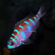 They jump! Saltwater Aquarium Fish, Saltwater Tank, Planted Aquarium, Saltwater Fishing, Beautiful Sea Creatures, Marine Fish, Funny Tattoos, Beautiful Fish, Ocean Creatures