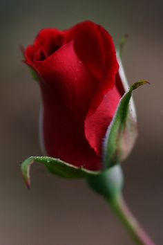 Roses Only, Glass Photography, Perfume, Love Garden, Blessed Virgin Mary, Just Amazing, Flower Beds, Beautiful Roses, Rose Buds