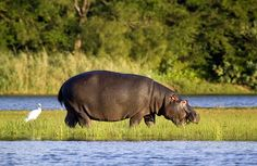 Top 12 Tourist Attractions in South Africa. South Africa's top tourist attractions include its national parks and reserves, cities like Cape Town, its beaches, the wine routes of the Cape and many others. South Africa Wildlife, Wetland Park, Okavango Delta, Kwazulu Natal, Hippopotamus, African Safari, Africa Travel, Cape Town, Tanzania