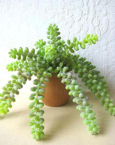 Danish Teak Succulent Planter Donkey Tail Sedum by rosekraft