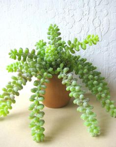 Danish Teak Succulent Planter Donkey Tail Sedum by rosekraft