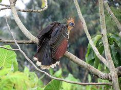 Foto cigana (Opisthocomus hoazin) por Renata Xavier | Wiki Aves - A Enciclopédia das Aves do Brasil