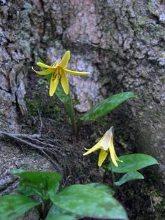 Wild Edible Plants - Trout Lily ate these by our brook as a kid Wild Harvest, Native Plants, Garden Plants, Wild Flowers, Edible Flowers, Edible Wild Plants, Trout Lily, Plants, Planting Flowers
