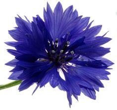 Cornflower---What a color.!!
