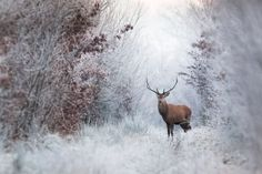 Red Deer by French Photographer Nicolas Le Boulanger — The Artbo