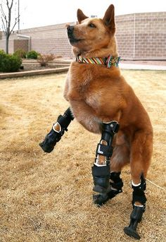 Bionic Dog With Four Prosthetic Legs and worth every cent...    1 share = 1000 respect