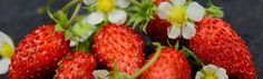 Strawberries Growing Guide | Baker Creek Heirloom Seeds