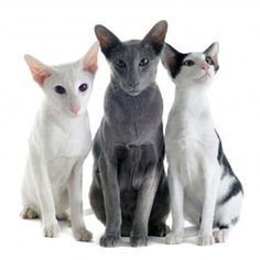 What Are the Best Cat Breeds For People With Pet Allergies?