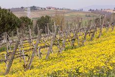 Beautiful biodynamic vineyard with cover crops in flower. Lodola estate from Avignonesi Montepulciano, Tuscany