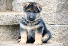 Wicked Training Your German Shepherd Dog Ideas. Mind Blowing Training Your German Shepherd Dog Ideas. Dog Training Classes, Training Your Dog, Training Schedule, Potty Training, Puppies For Sale, Puppies Puppies, German Shepherd Puppies, German Shepherds, Puppy Cuddles