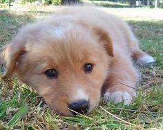 Collie / Golden Retriever mix puppy: @Gracia Gomez-Cortazar Malcolm  this must be what Tater looked like as a puppy!