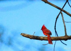 This Cardinal is a symbol to many throughout the United States. It is the state bird of a handful of states team mascots and for many a symbol of strength courage and a reminder of someone they've lost. Peace and so much love to each and every one of you.  #love #birds #nuts_about_birds #bestbirdshots #bird #wild #naturelovers #animallovers #great #big #kearyannphotography #happy #lucky #adventure #wildlifephotography #wildlife #fly #explore #nature #animals #animal #getoutside #instaanimal…