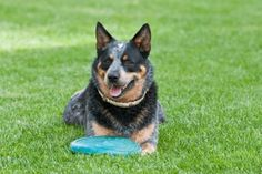 Blue heeler with toy