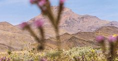 Death Valley Is Alive: This year, a historic deluge created a Superbloom of wildflowers in one of the hottest places on Earth.