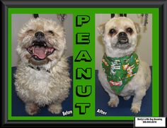 This Senior Boy - Peanut! Since its still pretty cold outside he needed a winter groom. Senior Boys, Small Breed, Little Dogs, Dog Grooming, Shih Tzu, Your Dog, Cold, Winter, Pretty