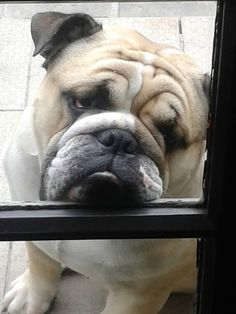 """❤ The """"look"""" that melts every Bully Mom & Dad. ❤ Posted on Golden Years Bully Group"""