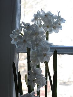 Paperwhites | Beat the Winter Blues By Forcing Bulbs - Black Thumb Gardener