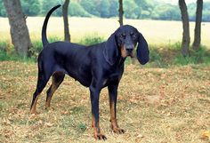 Black and Tan Coonhound | Origin: USA