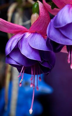 Fuchsias ...I always try to have these in my garden every year. they are so lovely. the purple/red is my favorite, but there is a small pink one that is pretty too.....b