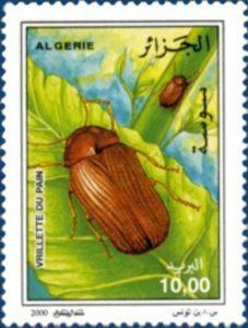 Drugstore Beetle (Stegobium paniceum)