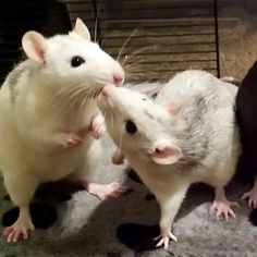 Rata Dumbo, Rats Mignon, Animals And Pets, Cute Animals, Small Animals, Dumbo Rat, Fancy Rat, Cute Rats, Cute Mouse