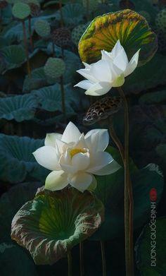 white Lotus..