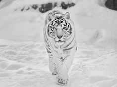 Tigre siberiana discovered by Barbara on We Heart It Beautiful Creatures, Animals Beautiful, Cute Animals, Beautiful Cats, Baby Animals, Panthera Tigris Altaica, Snow Tiger, Tiger Wallpaper, Wallpaper Desktop