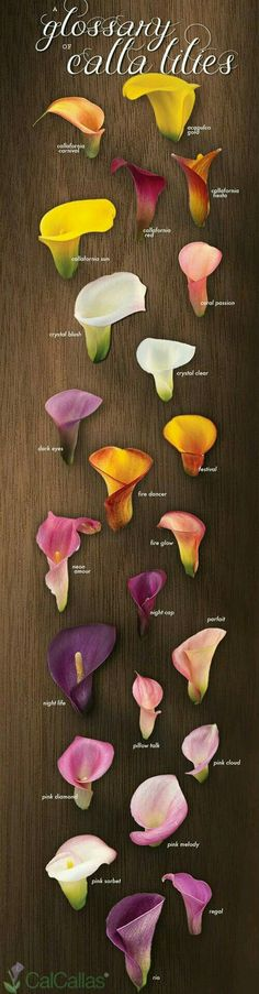 Browse our collection of Chic Calla Lily Bouquets. Chic Calla Lily Bouquets include 20 stems of fresh picked calla lily flowers. Our calla lilies are picked from our fields in Monterey Bay, CA and shipped directly to your door within 24 hours! Arte Floral, Deco Floral, Lys Calla, Calla Lillies, Lilies Flowers, Tulips, Arch Flowers, Flowers Decoration, Diy Flowers