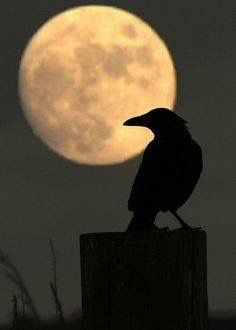 Raven by moonlight