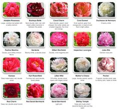 Peonies by color via Hyperactive Farms
