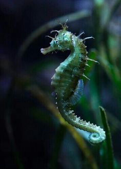 Sea green seahorse moving through the depths of the ocean. Underwater Creatures, Underwater Life, Ocean Creatures, Beautiful Sea Creatures, Animals Beautiful, Leafy Sea Dragon, Fauna Marina, Tier Fotos, Sea Monsters