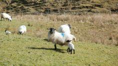freie Natur - B & B - Gaestezimmer -  moira.eccuill@gmail.com Irish Cottage, Connemara, Goats, Animals, Irish, Sheep, Animales, Animaux, Animal