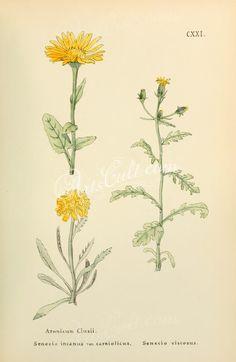 aronicum clusii, senecio incanus carniolicus, senecio viscosus      ...