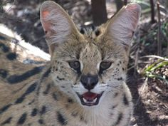 The expressive Serval Cats of Tenikwa - always inquisitive and full of mischief!