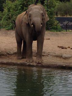 Elephant at Dublin Zoo Dublin Zoo, Elephant, Animals, Animales, Animaux, Elephants, Animal, Animais
