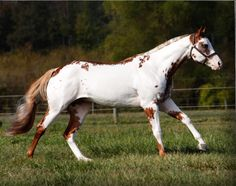 CR Good Machine  (A Good Machine x C R Sarah)  2005 Sorrel Overo APHA Stallion