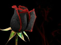 Black rose with red lining