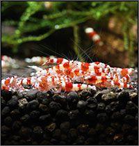 SHIRAKURA - Information on successfully keeping and breeding bee shrimp