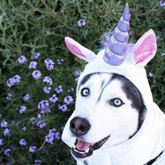 Discovered by Miles The Husky. Find images and videos about love, cute and nature on We Heart It - the app to get lost in what you love. Best Dog Costumes, Amazing Halloween Costumes, Animal Costumes, Pet Costumes, Halloween Ideas, Halloween Party, Animals And Pets, Baby Animals, Cute Animals
